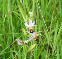 Bee orchid at The Chase
